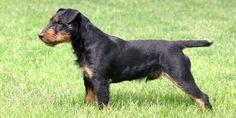 Jagdterrier (German Hunt Terrier) is a small terrier dog breeds. Akc Breeds, Terrier Dog Breeds, Terriers, Dog Breeders, Basenji Puppy, Kangal Dog, Best Pet Dogs, Otterhound, Dogs