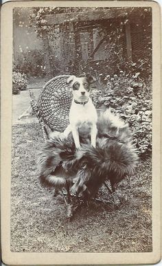 c.1890s cdv of Jack Russell terrier sitting outside on wicker chair with fur throw. No identification of photographer or dog. From bendale collection