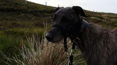 My gorgeous animal - Alfi the Deerhound <3
