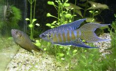 Paradise fish female and male --- Sexing  of Paradise fish (Macropodus opercularis) is easy as males are more colorful and have longer fins compared to the females.