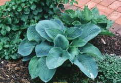 Hosta 'Elegans', (2?), 2007? From Mahoney's, or maybe a big box store.