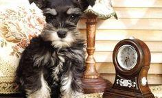 reloj biológico de perro
