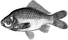 Fish Drawings Are Easy and Fun