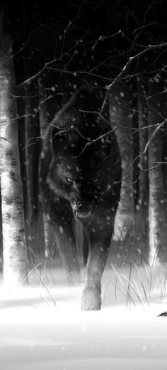 wolf stalking out of the woods