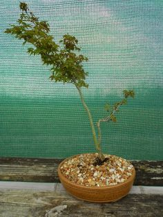 """Otohime"" Japanese Maple has very small palmate leaves- Bonsai Beginnings: A dwarf Japanese Maple, perfect for bonsai"