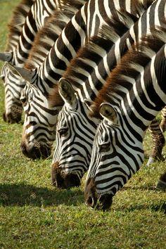 Zebras in Ngorongoro Conservation Area, Tanzania. Photographer Martin Buschmann