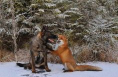 One morning last summer, photographer Torgeir Berge was walking in the woods with his dog Tinni.  Suddenly they came across a young fox, and what happened next is amazing.