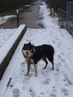 #Border_Collie #Puppy #Beautiful #Snow 24/03/13