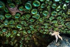 With One Arm, A Sea Star Barely Hangs Onto A Wall Of Anemone In A Tidepool On Indian Beach, Ecola State Park, Oregon Stock Photos / Pictures / Photography / Royalty Free Images at Inmagine