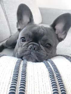 Terrific Photos dogs and puppies bulldog Suggestions Complete you're keen on your puppy? Proper doggy attention in addition to Cute French Bulldog, French Bulldog Puppies, Cute Dogs And Puppies, Doggies, Teacup French Bulldogs, Frenchie Puppies, Corgi Puppies, Cute Little Animals, Cute Funny Animals