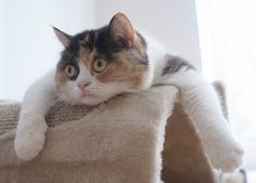 The Somali is an energetic cat that loves to leap as well as play. In spite of that, she is a very easy cat to have in your home. Somalis enjoy individuals and also other animals.