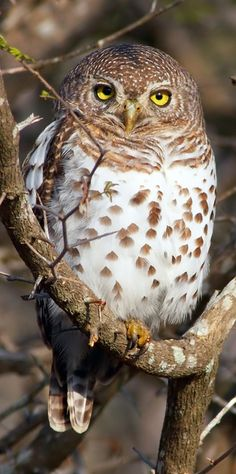 The African Barred Owlet (Glaucidium capense) is a species of owl in the Strigidae family. With a length of cm and a weight of grams it is a small owl. It has no ear tufts. South African Owls, About Owls, Birds of Prey Beautiful Owl, Animals Beautiful, Cute Animals, Simply Beautiful, Owl Bird, Pet Birds, Barred Owl, Tier Fotos, Mundo Animal