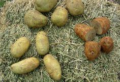coltivazione-patate in vaso