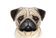 Lines on a face for a for detail is very important for my picture because pugs are known for their wrinkles. Mops Tattoo, Animals And Pets, Cute Animals, Pug Tattoo, Pug Art, Dog Boutique, Pug Love, Animal Drawings, Pet Portraits
