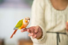 5 Tricks to Teach Your Pet Bird Teaching your pet bird cool tricks can strengthen the bond that you have with your pet through socialization, and can be a lot of fun. Love Birds Pet, Small Birds, Pineapple Conure, Budgies, Parrots, Cockatiel, Baby Parakeets, Budgie Parakeet, Common Birds