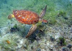 Virgin Islands National Park was established on this day in Happy birthday, Pics are of a green turtle in the park (by Dr. Caroline Rogers), Little Cinnamon Beach (by Anne Finney), and Honeymoon Beach (by David Pinardi). Turtle Love, Green Turtle, Virgin Islands National Park, Us Virgin Islands, National Parks Usa, Sea Creatures, Under The Sea, Caribbean, Photos