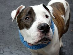 RETURNED 7-22-16, STRAY!! SUPER URGENT Manhattan Center - RTO SAFE ❤️ 4/7/16 RETURN!! Manhattan Center KING – A0780879 **RETURNED 04/01/16 NEUTERED MALE, WHITE / BR BRINDLE, AMER BULLDOG / AM PIT BULL TER, 10 yrs STRAY – ONHOLDHERE, HOLD FOR ID Reason STRAY Intake condition UNSPECIFIE Intake Date 04/01/2016, From NY 10456, DueOut Date 04/08/2016,