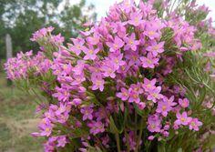 A vidám lilában pompázó ezerjófű szaponinokat, így eritaurin keserű glikozidákat, valamint illóolajat tartalmaz, leggyakrabban emésztési zavarokra, vértisztításra és vesebetegségek esetén használják. Plants, Plant, Planets