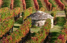 Vignoble de Bourgogne- Burgundy vineyard, home of the best Pinot noir and Chardonnay