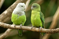 Grey-headed Lovebird