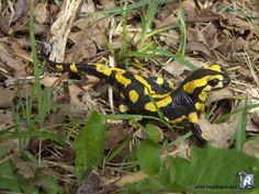 """La salamandre tachetée (Salamandra salamandra).  Elle est noire avec des taches jaunes. Elle est également connue sous le nom de """"salamandre de feu"""". Elle se trouve essentiellement en Europe."""