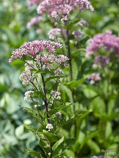 A big, bold native perennial, Joe Pye weed will quickly fill sunny spots in your landscape. Growing 3-6 feet tall, Joe Pye weed thrives in moist soil so use it to fill in problem wet spots in your landscape. It's also a reliable fall bloomer, developing rounded heads of pinkish purple flowers that will attract scores of colorful butterflies. Joe Pye weed has a tendency to spread, so plant it where you can keep it under control. This hardy native thrives in sun and partial shade. Zones 3-7