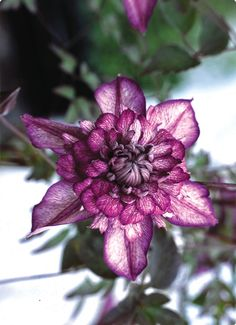 Clematis Cassis, Z4-8, 10 feet  Gorgeous! Have not seen it my search for Clematis.
