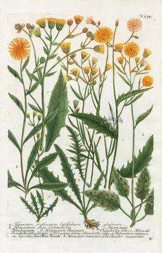 Hieracium fruticosum latifolium glabrum  (1057×1650)