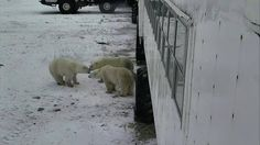 A board meeting appears to be taking place on Polar Bear Cam. Snap by Cloud. Polar Bears International, Sea Ice, Hudson Bay, Timeline Photos, Hunting, Creatures, Clouds, World, Animals