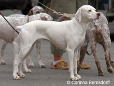 Braque du Bourbonnais | © Corinna Bernsdorff Curly Coated Retriever, Braque Du Bourbonnais, Terrier, Dogs Of The World, Doge, Dog Breeds, Animals, Dog, German Wirehaired Pointer Rescue