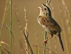 Henslows sparrow. On Canada's endangered species list