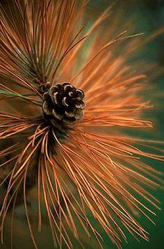 Pinecone color