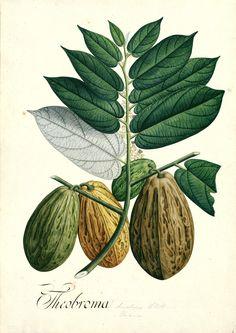 (ARJB). Cacao_ Theobroma bicolor Bonpl._ Signatura: RJBDIV.III-A-2177 'Real Expedición Botánica del Nuevo Reino de Granada' (1783-1816). Con la exploración del continente americano durante la segunda mitad del siglo XVI se inicia un intercambio de especies animales y vegetales pero también de culturas, sociedades y costumbres alimentarias. En el caso del cacao, consumido a diario en la Amazonía, su uso era tan habitual que se utilizaba además como moneda de cambio en los mercados.