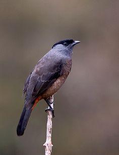 birds of a feather — bay-vented cotinga (photo via birdforum.net)