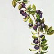 Prunus Insititia Art Print