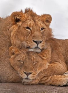 Lions in love , just like us my lovely lady Annie , so wishing we were together but soon we will my love , beautiful picture , xoxoxoxo .
