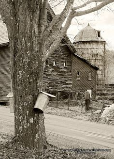Sap buckets on the trees. My grandparents collected sap this way until I was in my early twenties. Nothing better than real maple syrup.