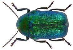 Cryptocephalus aureolus, Green Metallic Beetle