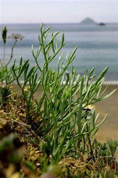 "Samphire, aka ""sea asparagus,"" is a sturdy vegetable. It grows in rocky regions near the ocean. Sea Asparagus, Australian Plants, Australian Bush, Seaside Garden, Sea Vegetables, In Season Produce, Farm Gardens, Edible Flowers, Edible Garden"