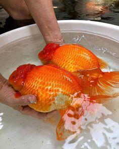 "AKVARYUM Bilgi Paylasim's Instagram profile post: ""💓🧡 Lovely Jumbo Goldfishes 🧡💓 📸 NT Goldfish Farm . . #aquarium #fish #aquascape #fishtank #aquariumhobby #aquascaping #reef…"" Freshwater Aquarium Fish, Aquascaping, Goldfish, Fish Tank, Fresh Water, Profile, Instagram, User Profile, Fishbowl"