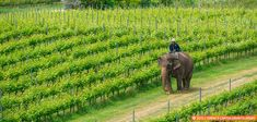 Southeast Asian wineriesare a novelty for most visitors to the tropical region. The chance to see vineyards skirted by coconut palms is a singular experience – especially when an elephant and his mahout amble between the vines. For most travellers, Southeast Asian wineriesaren't even on...