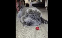 Shar Pei Puppy Vs. Frozen Strawberry Will Make You Smile Today! (VIDEO)