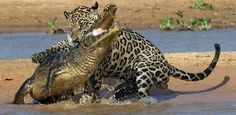 Jaguar+Vs+Crocodile
