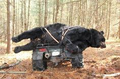Pinned this because the pic and the comment makes me sick.I can only pray I get a chance at one like this, this year. Big Game Hunting, Bear Hunting, Trophy Hunting, Hunting Tips, Hunting Season, Hunting Stuff, Big Animals, Animals And Pets, Rifles
