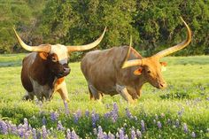 Texas Longhorn Cattle Photograph - Texas Longhorn Cattle Fine Art Print