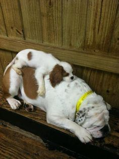 Too cute!! Wonder if I can get my Cavalier & my sister's English Bulldog to pose like this!