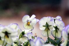 coconut swirl violas, gardenista   Oh to be able to grow the sweet pansy in South Florida...