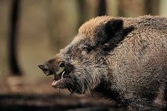 Hunter dies in Germany after wild boar he was trying to shoot attacked him Boar Hunting, Trophy Hunting, Feral Pig, 50 Year Old Men, Pig Farming, Wild Boar, Wildlife Conservation, Brown Bear, South Africa