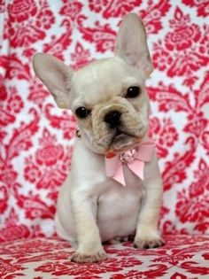 french bulldog puppy :) we have to get one when we live together!!