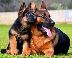 German shepherd mom with puppy
